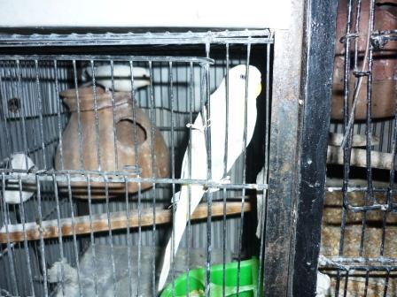 Détention d'oiseaux. 13006911