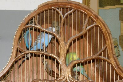 Détention d'oiseaux. Budgie11