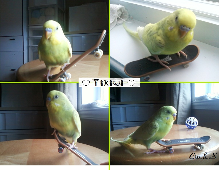 Enfin :D! J'ai mes 2 nouvelles Perruches Je vous présente^^  - Page 2 Tikiwi10