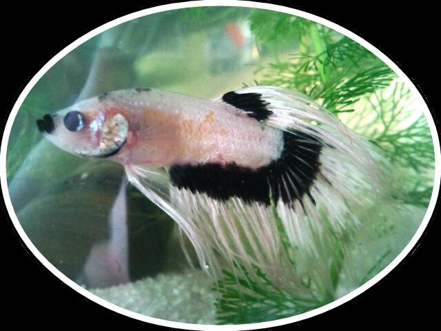 [ PHOTOS ] Les nids de bulles de nos poissons 2012-111