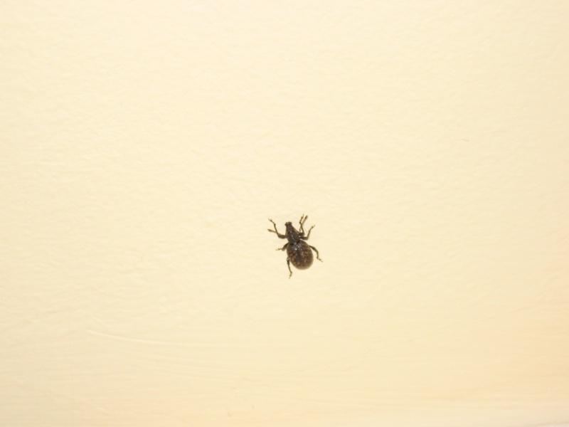 Identification insecte noir à carapace 02911