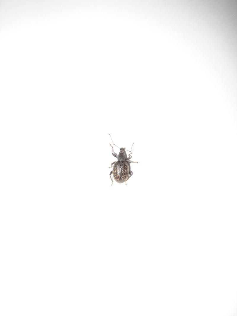 Identification insecte noir à carapace 03511