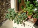 Proboscidea louisianica, plante insectivore Dsc03011