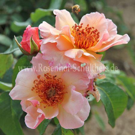 Rosa Meg 0573010