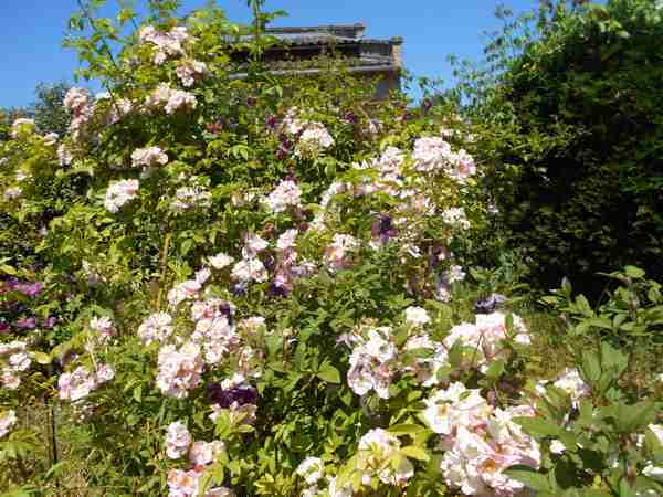 apple blossum Apple_14