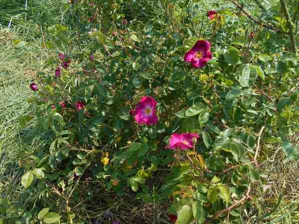Rosier Carabea  Carabe13