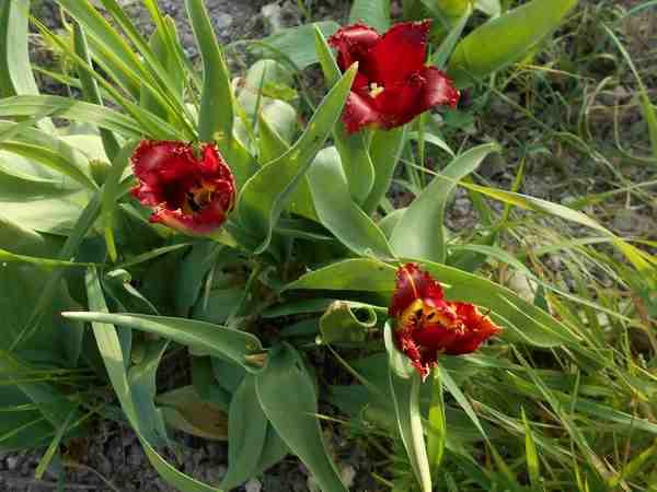 Tulipes. - Page 2 Dscn6815