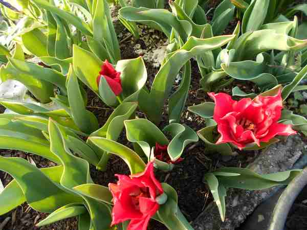 Tulipes. - Page 2 Dscn6816