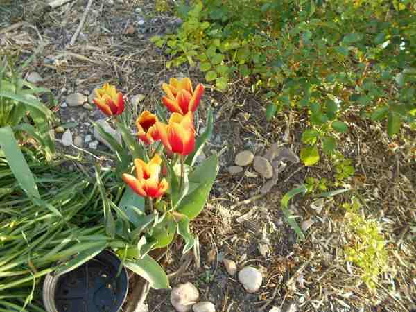 Tulipes. - Page 3 Dscn6817