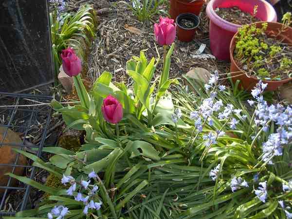 Tulipes. - Page 3 Dscn6818