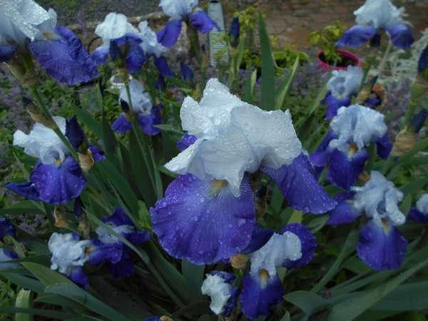 Iris  Dscn6927
