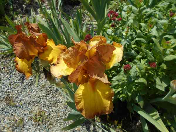 Iris  Dscn6929
