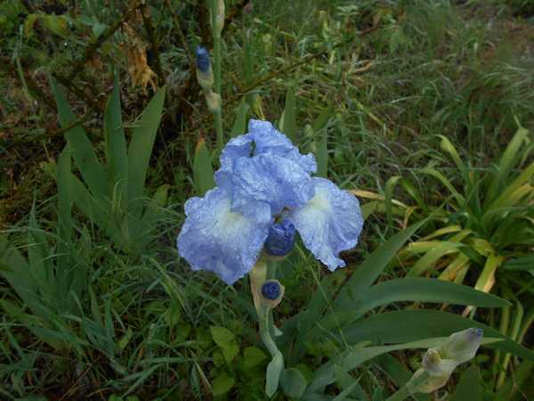 Iris  Dscn6930