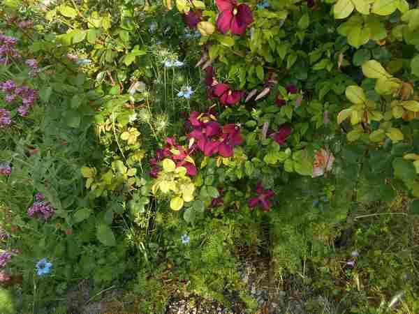 Clématite Rouge Cardinale  - Page 2 Dscn7224