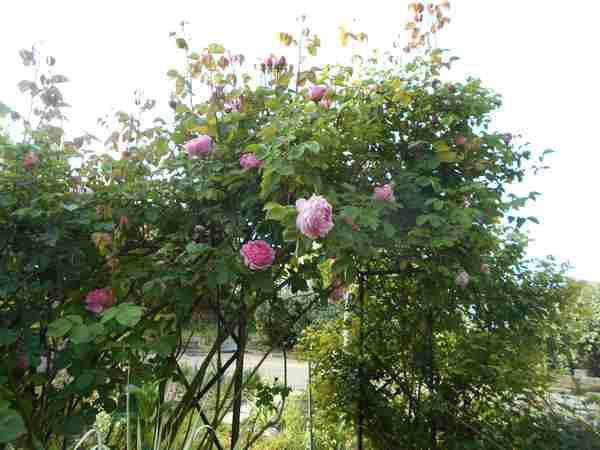 Rosa 'Constance Spry' !!! - Page 4 Dscn7233
