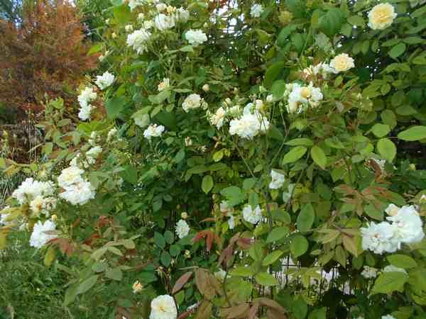 Rosa Malvern Hills  Dscn7522