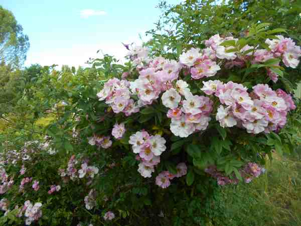 apple blossum Dscn7524