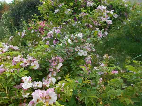 apple blossum Dscn7525