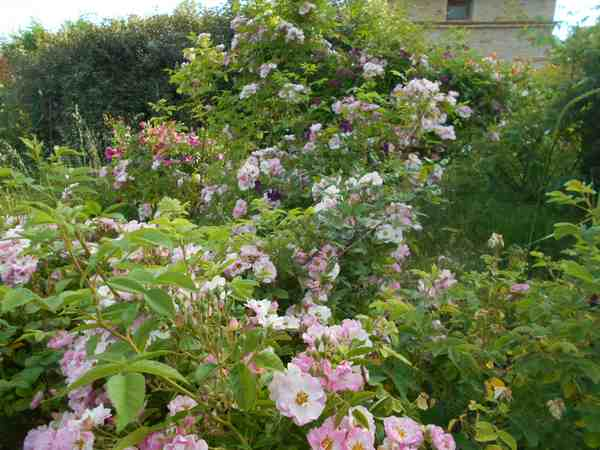 apple blossum Dscn7526