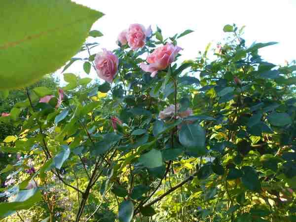 Rosa Compassion  - Page 3 Dscn7549