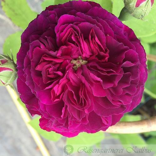 Rosa Erinnerung an Brod  Erinne10