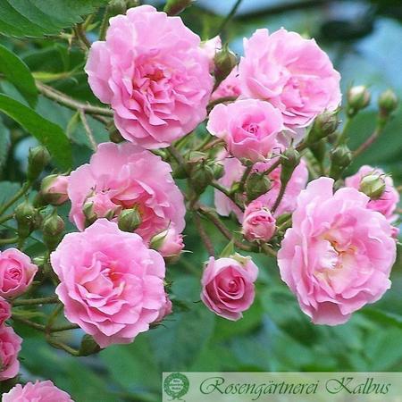 Rosa Kirschrose Kirsch10
