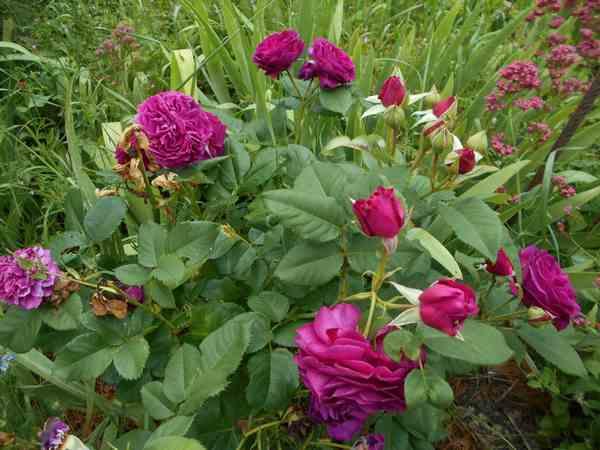 Rosa Purple Lodge  - Page 5 Purple10