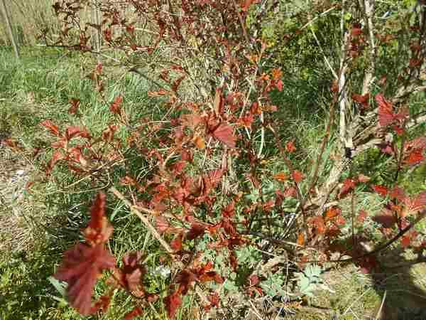 Physocarpus Diable D'or  Pysoca10