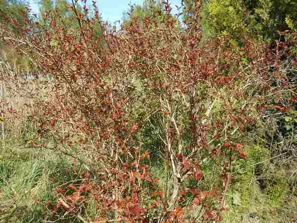 Physocarpus Diable D'or  Pysoca11