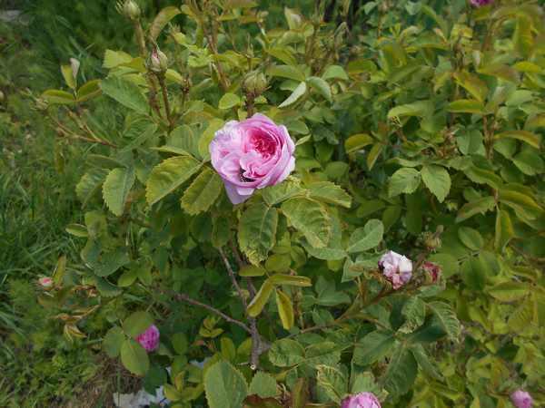 Rosa 'Konigin Von Denmark' !!! Queen_11