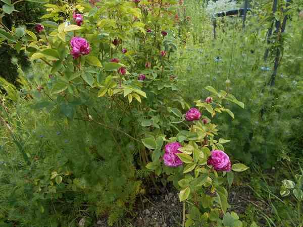Rosier Reine des Violettes  Reine_14