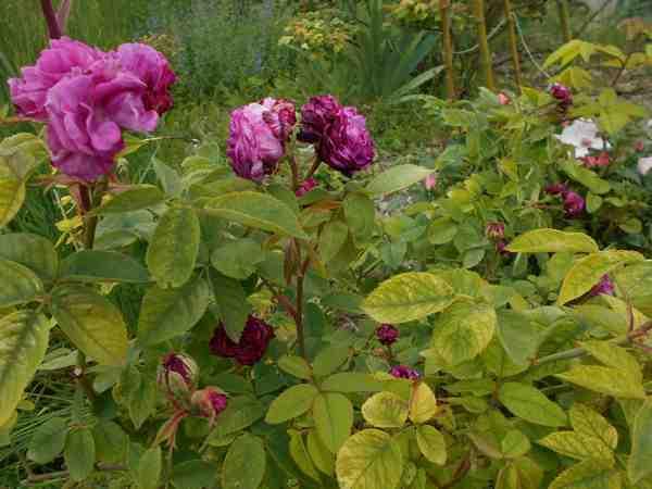 Rosier Reine des Violettes  Reine_15