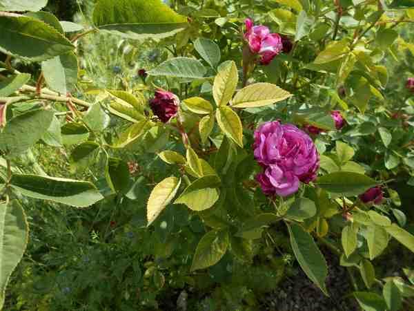 Rosier Reine des Violettes  Reine_17