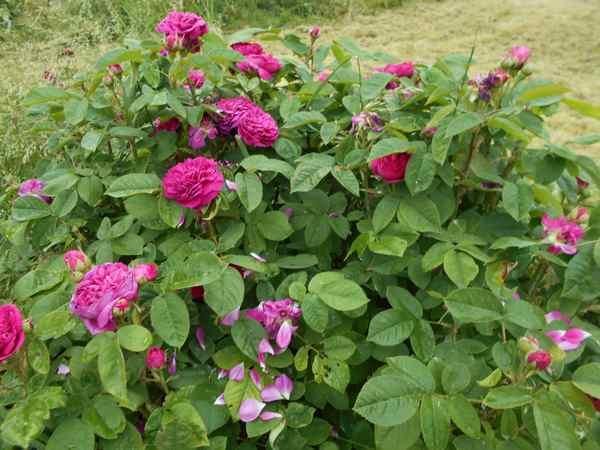 """Rosa """" Rose de Rescht """" - Page 2 Rose_d10"""
