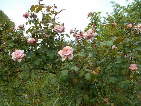 rose de Tolbiac Rosier18
