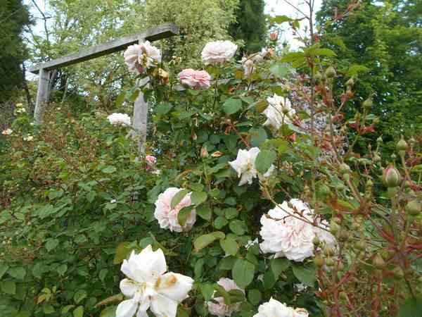 rose de Tolbiac - Page 2 Rosier21