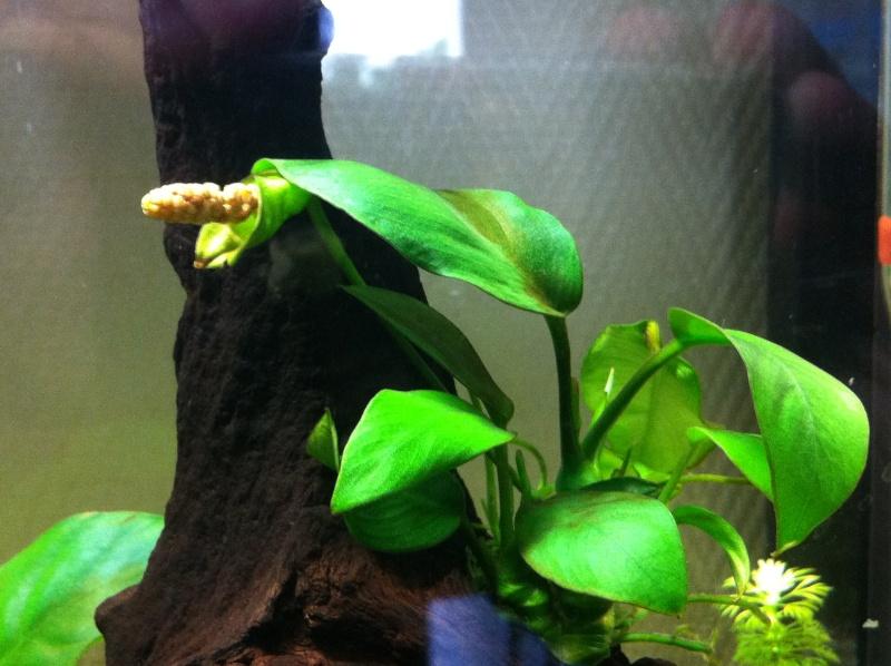 Mon premier aquarium (20 L) Anubia10