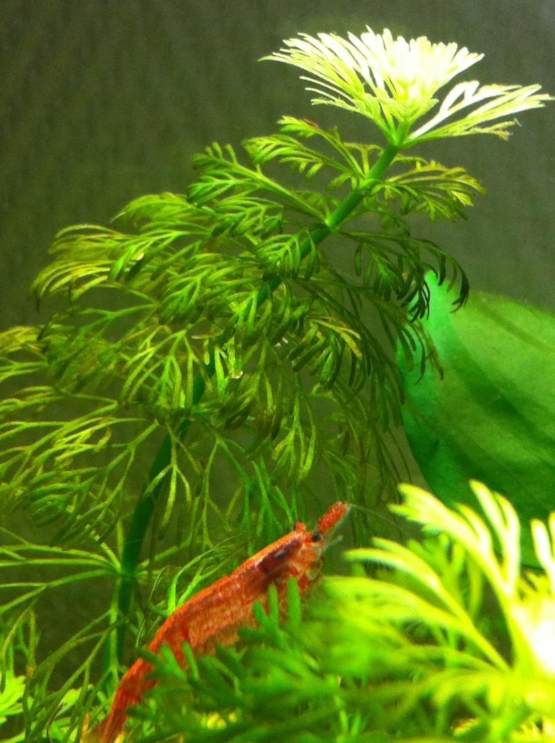 Mon premier aquarium (20 L) Crevet12