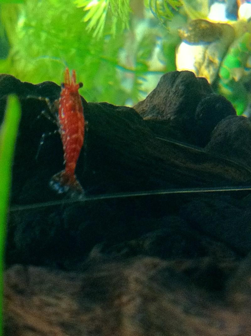 Mon premier aquarium (20 L) Crevet13