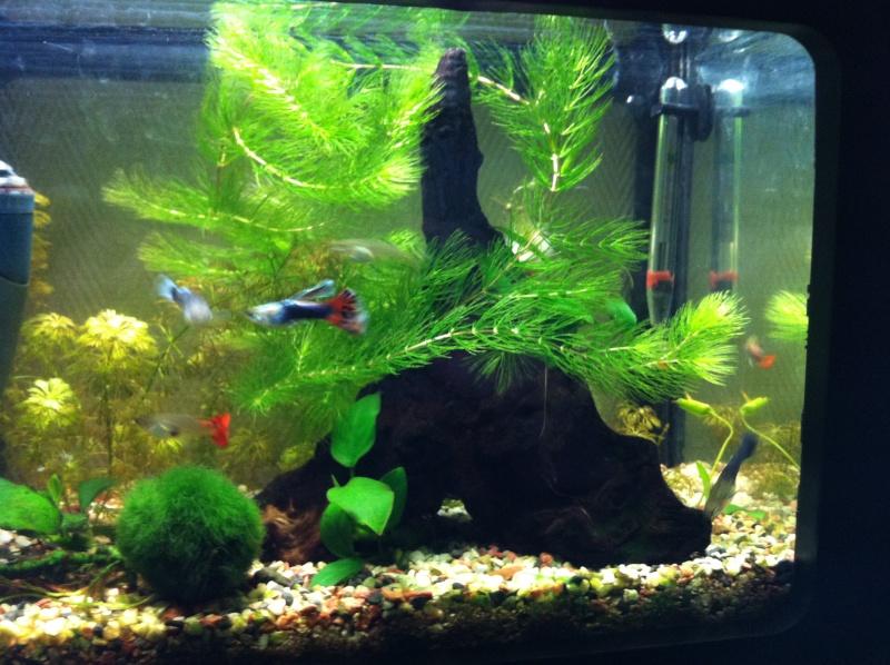 Mon premier aquarium (20 L) Vue_d_12