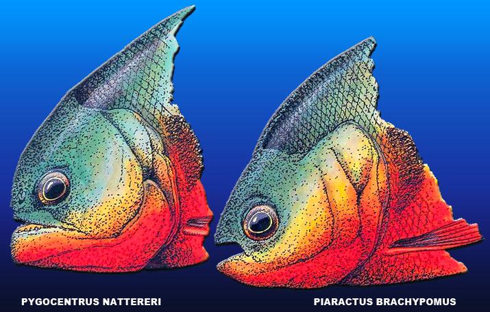 besoin d'identification de poisson Pacu_e10