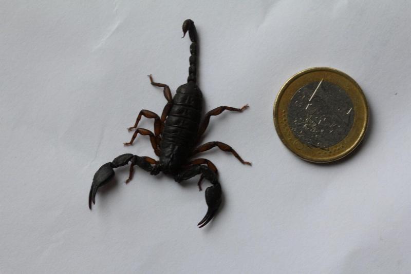 Scorpion ID - Euscorpius?? Schorp13