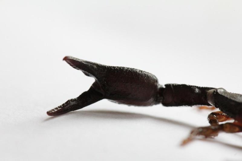 Scorpion ID - Euscorpius?? Schorp14