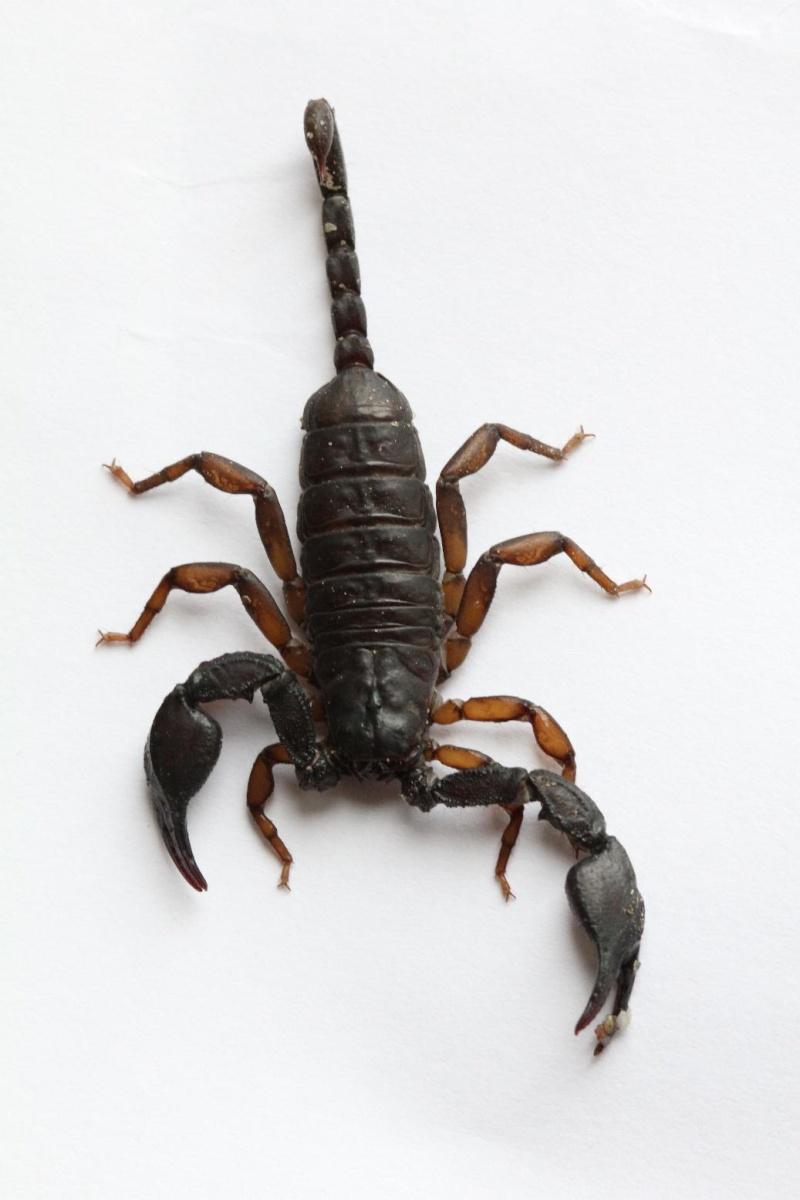 Scorpion ID - Euscorpius?? Schorp15
