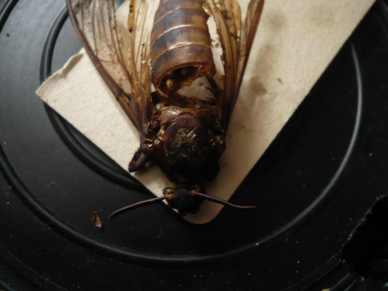 Insecte volant non identifié P1060225