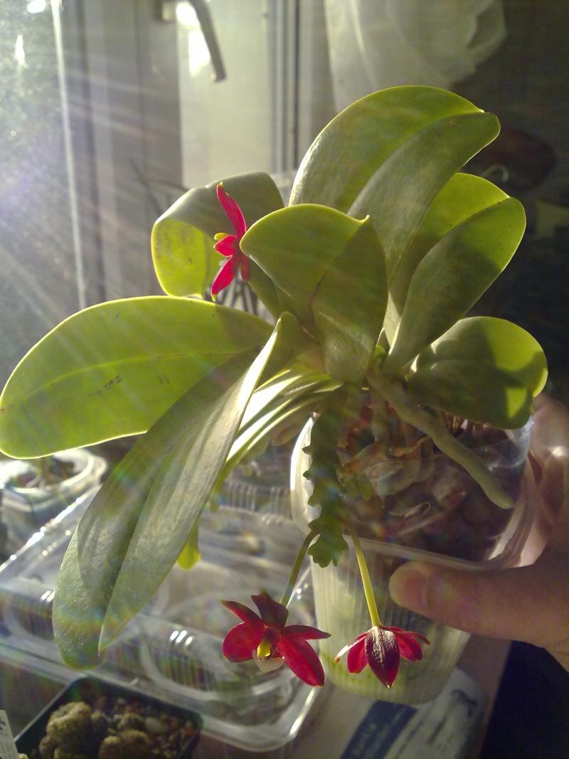 Phalaenopsis cornu-cervi 13062010