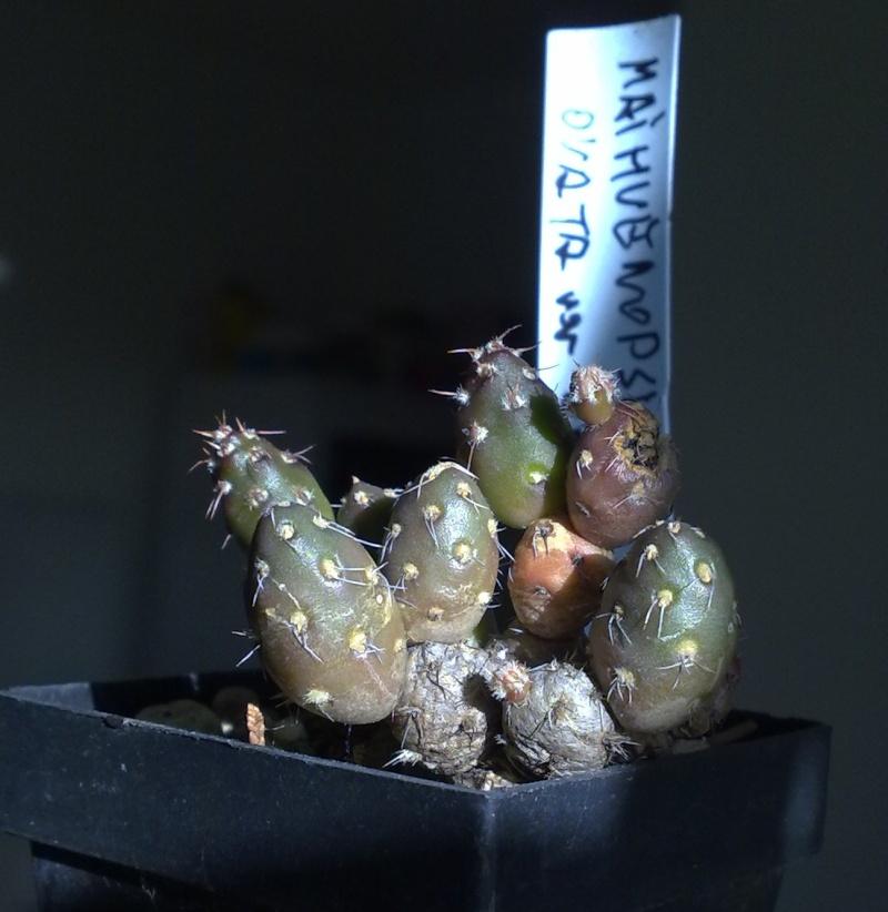 Maihueniopsis - Seite 6 21052010