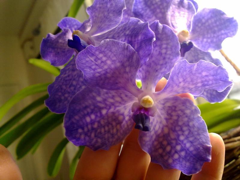Orchideen - Seite 4 K800_013
