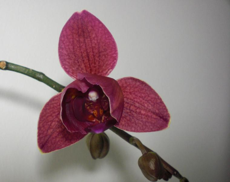 Orchideen - Seite 6 K800_c11