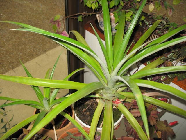 plumeria sans feuilles Ananas10